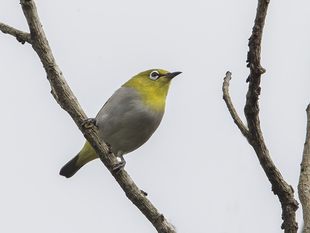 Sri Lanka White-Eye
