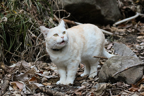4T4A4623-2 Cream tabby Japanese cat 薄茶トラ猫