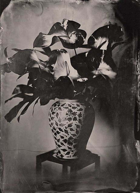 Anthurium white and green - Tintype 13x18