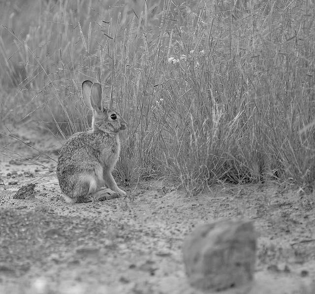Rabbit 20d_2484
