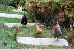 chickens IMG_4067