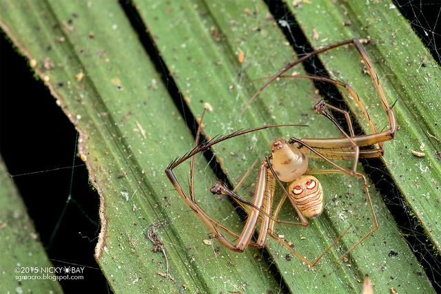 Pirate spider (Gelanor sp.) - DSC_0456