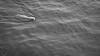 Swimming dog by Juandalfweb