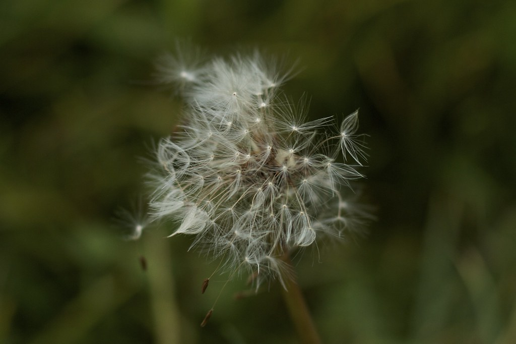 Dandelion tired of waiting for a wish (3861)