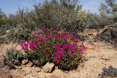 Pelargonium sericifolium in habitat