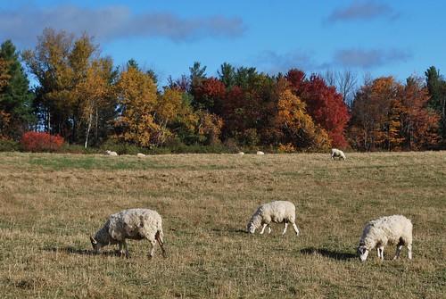 Monastery sheep