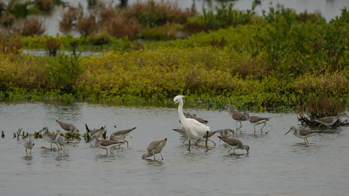 Snowy Egret with Greater Yellowlegs