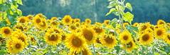 Sunshine Field (SUNFLOWERS) 01
