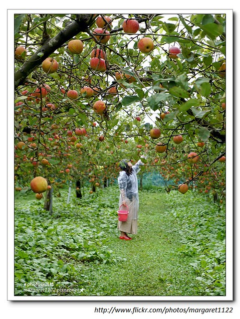 【日本島根﹞】飯南町:採蘋果+注連繩體驗
