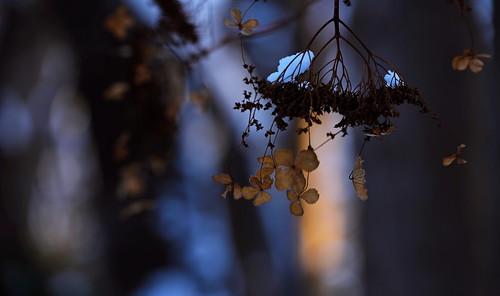 sapporo hokkaido japan maruyamapark winterscene 札幌 北海道 円山 円山公園 nikon d810 nikkor afs 70200mmf28gedvrii 70200mm hydrangeanacrophylla ガクアジサイ flower 雪