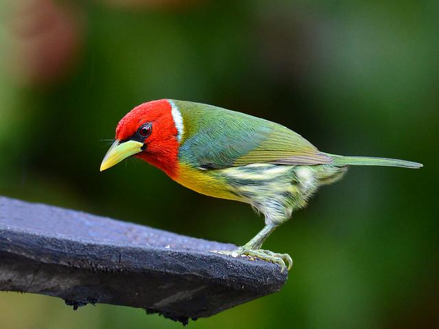 Barbudo Cabecirrojo // Red-headed Barbet
