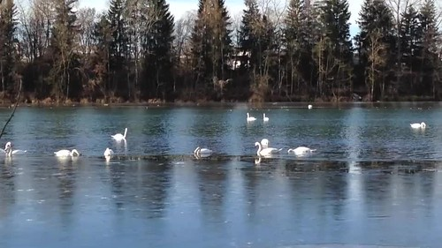 Swans meeting in winter/Schwanentreff im Winter