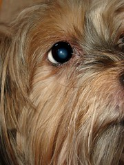 dog breed, animal, dog, schnoodle, brown, pet, lã¶wchen, tibetan terrier, australian silky terrier, norfolk terrier, glen of imaal terrier, mammal, lhasa apso, australian terrier, close-up, yorkshire terrier, terrier,