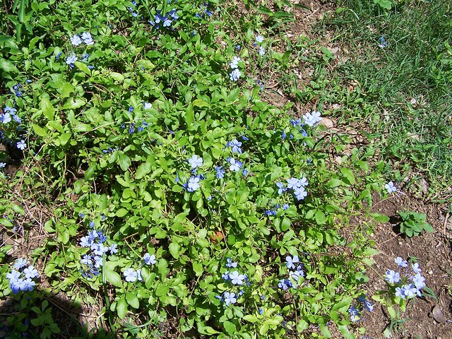 Blue Flowering Ground Cover Flickr Photo Sharing
