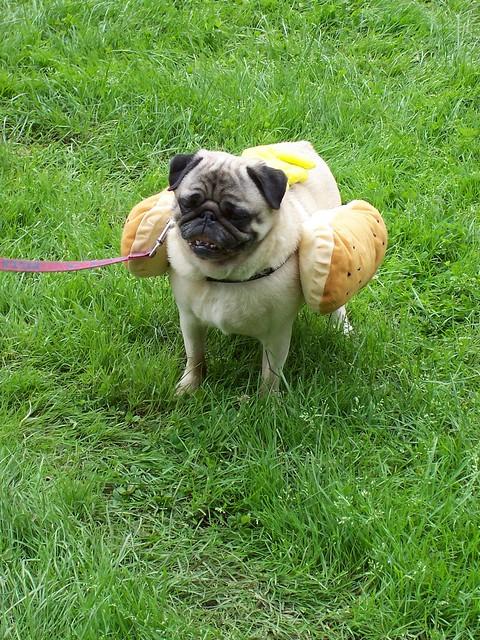 Pug Hot Dog