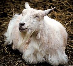 animal, mammal, goats, domestic goat, fauna,