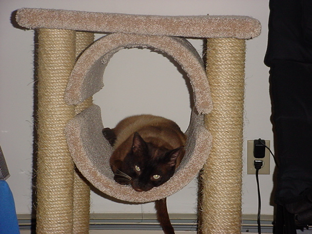 Nestle hanging out in his scratching post thingie