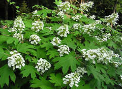 apiales(0.0), guelder rose(0.0), cow parsley(0.0), cicely(0.0), anthriscus(0.0), produce(0.0), shrub(1.0), flower(1.0), tree(1.0), plant(1.0), herb(1.0), meadowsweet(1.0),