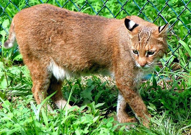 Bobcat  Flickr  Photo Sharing