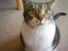 nose, animal, small to medium-sized cats, pet, european shorthair, singapura, cat, carnivoran, whiskers, domestic short-haired cat,
