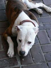 american bulldog(0.0), bulldog(0.0), terrier(0.0), dog breed(1.0), animal(1.0), pit bull(1.0), dog(1.0), pet(1.0), american pit bull terrier(1.0), carnivoran(1.0),