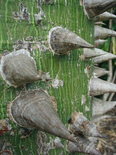 "3"" spikes protect skin of young Silk Floss Tree"