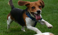 dog breed, animal, danish swedish farmdog, harrier, dog, brazilian terrier, treeing walker coonhound, english foxhound, american foxhound, pet, finnish hound, estonian hound, parson russell terrier, carnivoran, beagle,