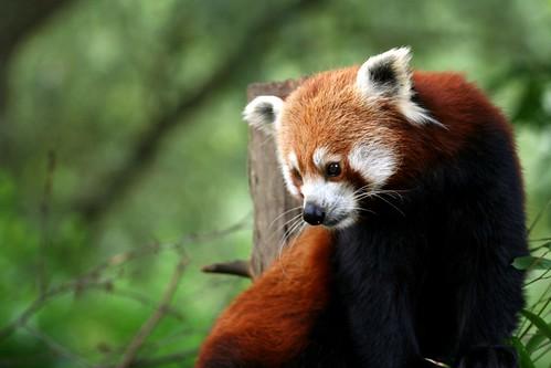 Red Panda Pensive
