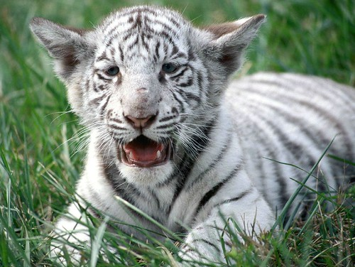 Baby white tiger in grass.