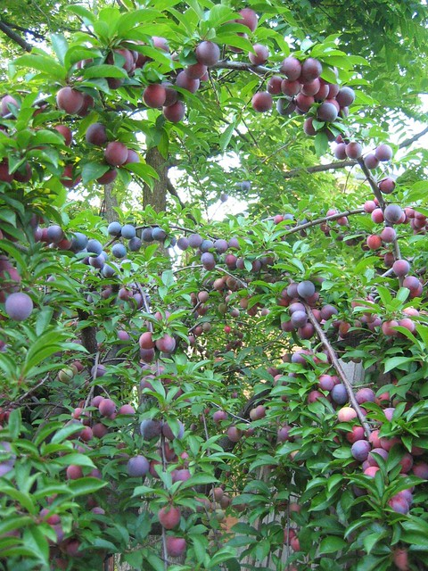 Plum Tree - Heavily Laden