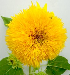 annual plant, calendula, flower, yellow, plant, petal,