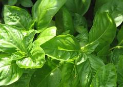 komatsuna, leaf, plant, herb, basil,