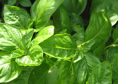 vegetable(0.0), malabar spinach(0.0), produce(0.0), food(0.0), komatsuna(1.0), leaf(1.0), plant(1.0), herb(1.0), basil(1.0),