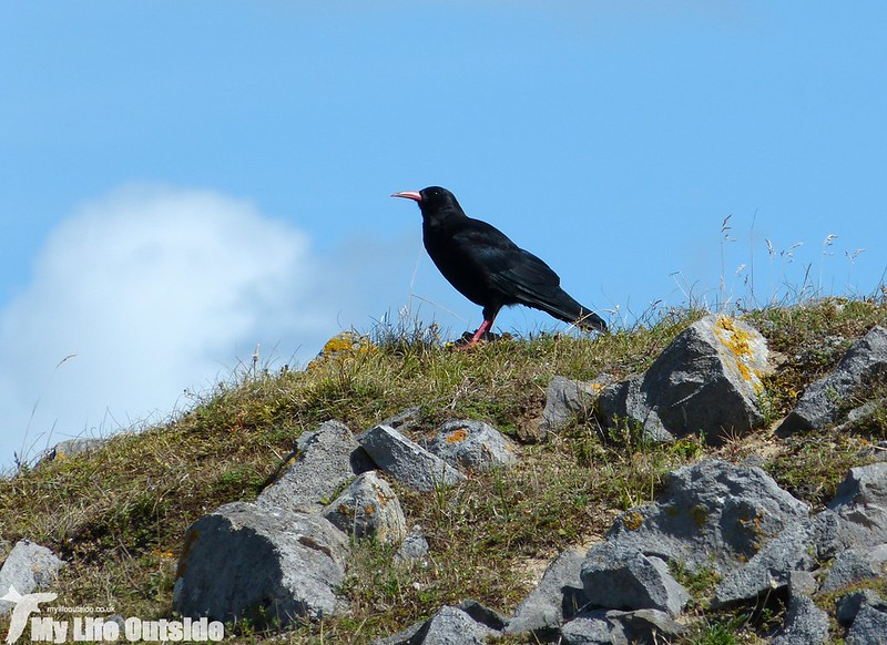 P1150497 - Chough, Broad Haven