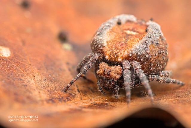 Roly poly orb weaver (Xylethrus scrupeus) - DSC_4528
