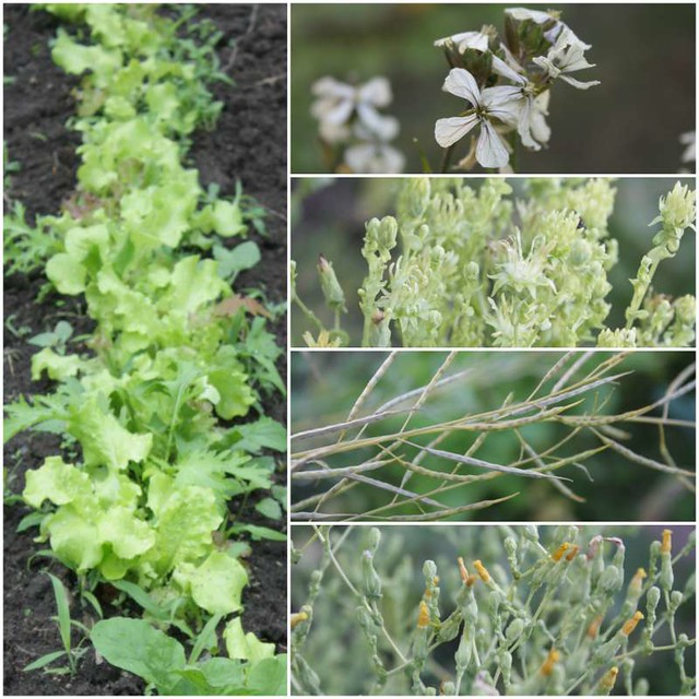 row of closely-spaced lettuce, four different kinds of lettuce flowers