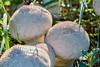 Spiky puff-balls (mushrooms) by powerdook