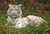 Rare white tiger, a beauty by Foto Martien