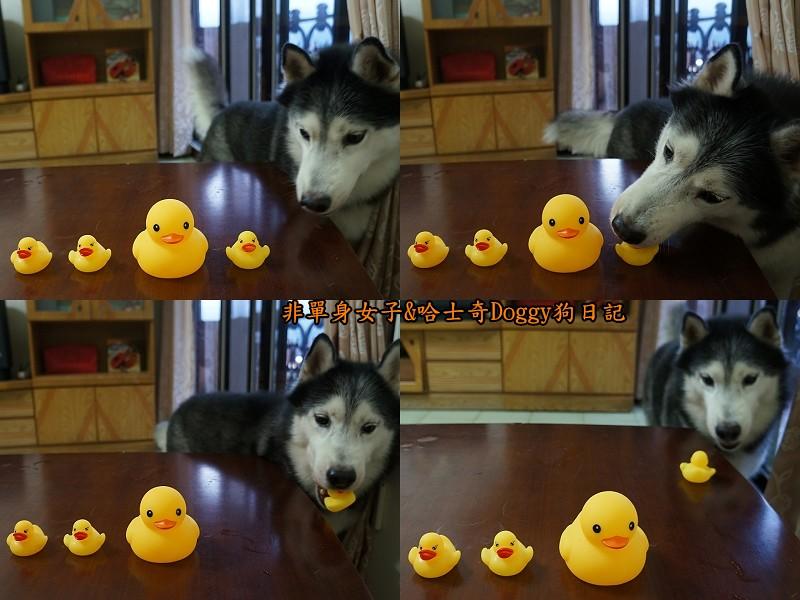 哈士奇doggy與啾啾玩具黃色小鴨04