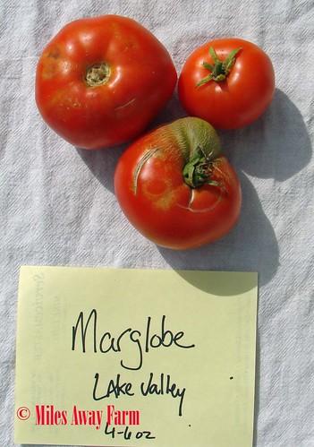 Marglobe Tomato Trial 2015