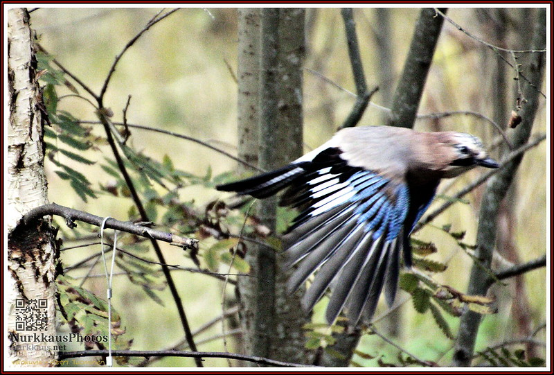 Eurasian Jay passing by