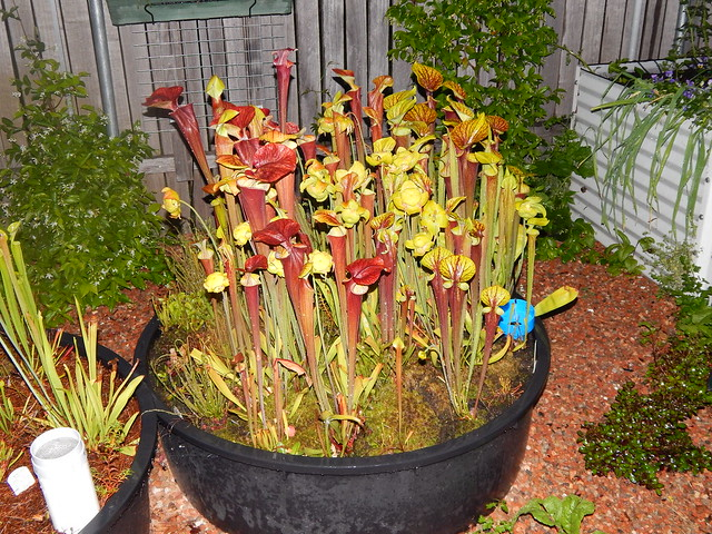 Sarracenia garden - red flava forms