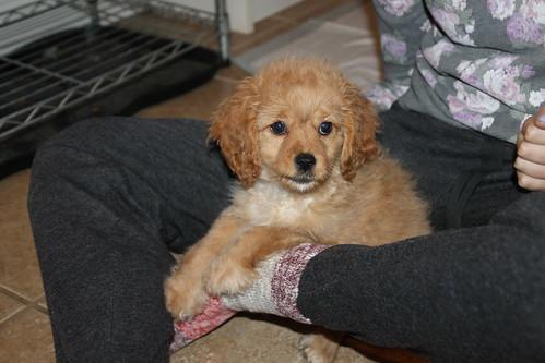 Milo and Rosie (Cavachon Puppies) - November 12, 2015