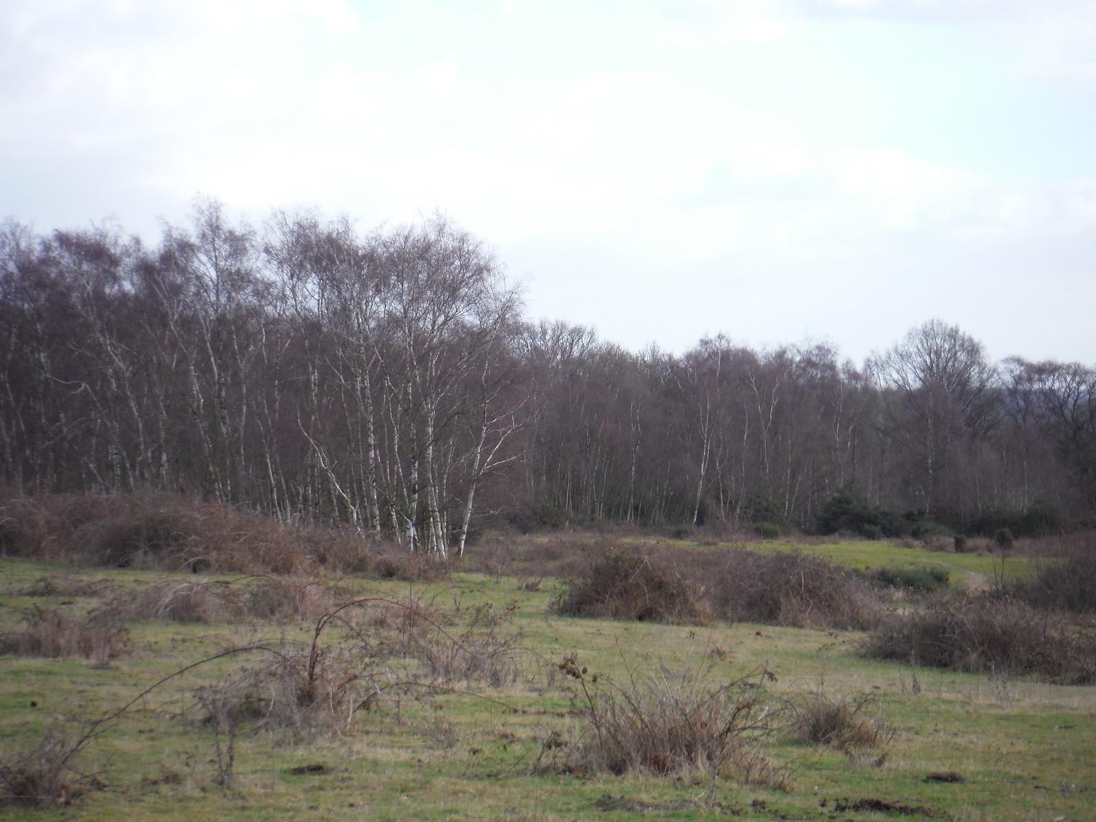 Greenham Common: Clump of Birches SWC Walk 34 Newbury Racecourse to Woolhampton (Midgham Station)
