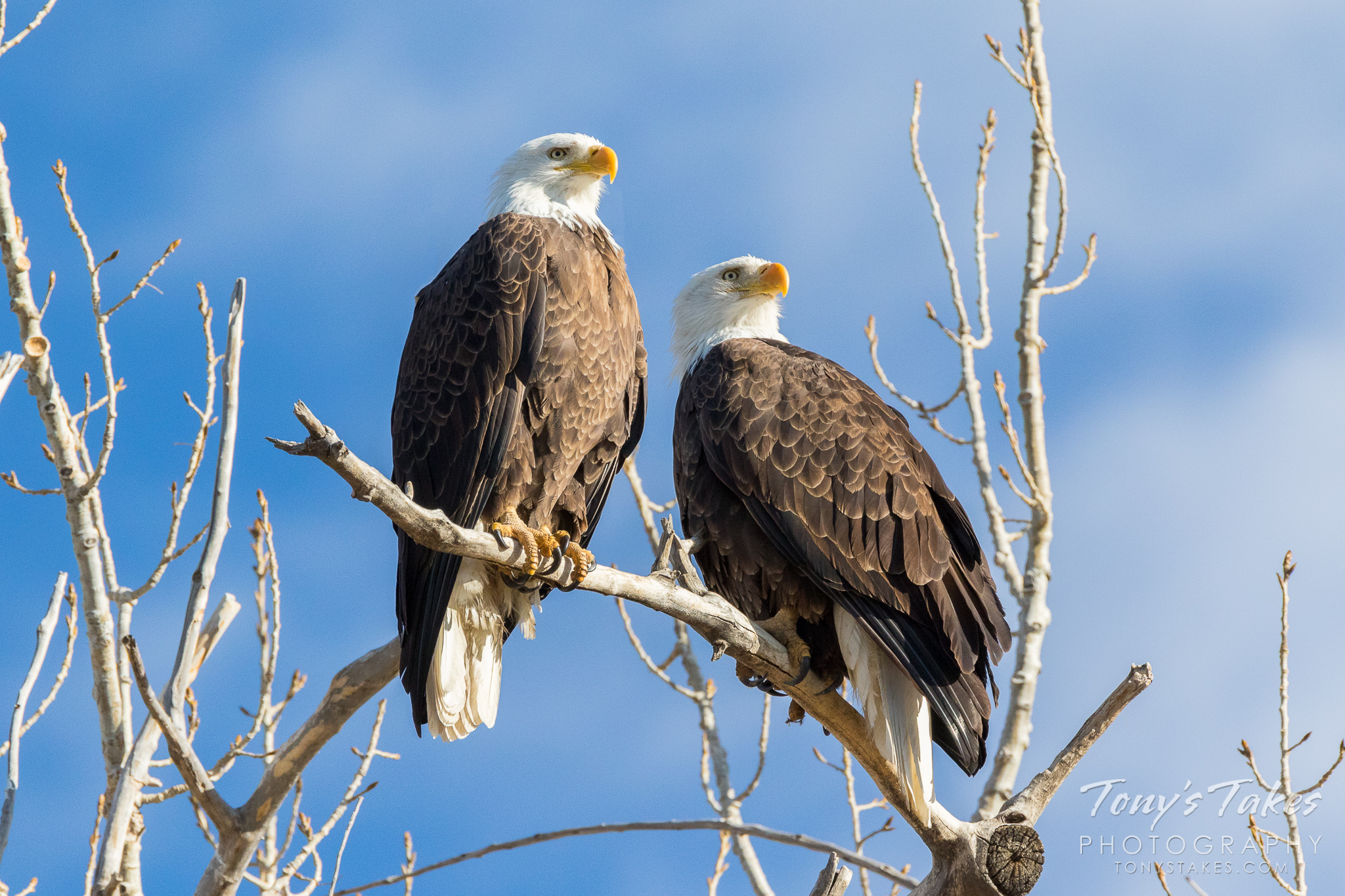 A mated pair of bald eagles southwest of Denver, Colorado in February 2017. The female (right) recently passed away in the blizzard that struck the Colorado Front Range. (© Tony's Takes)