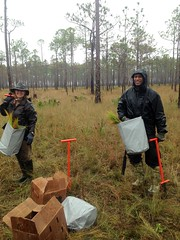 BLM Helping to Re-Establish Longleaf Pine in the Florida Panhandle