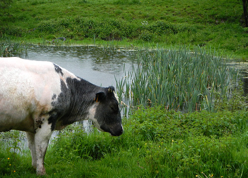 A contented cow at a Chateau Ferme near Dinant, Belgium