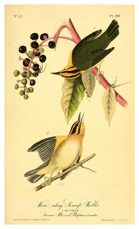 007- Currucas del pantano-Vol2-1840-The birds of America…J.J. Audubon