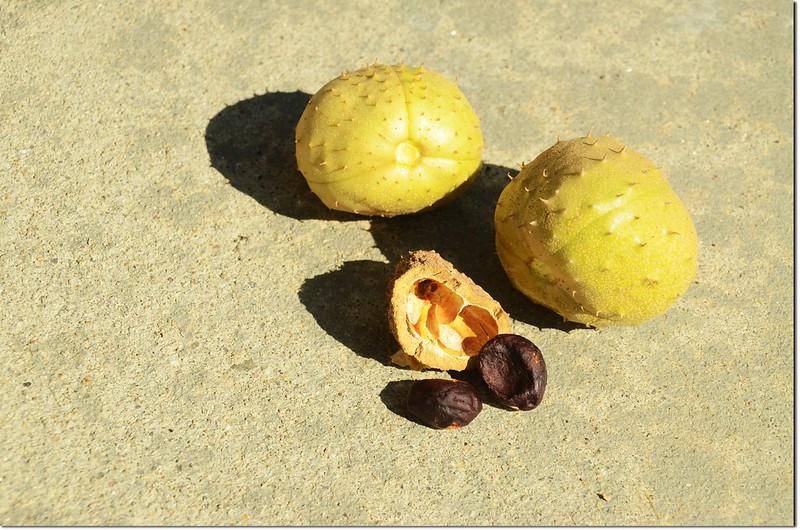 Horse Chestnut(七葉樹)~果實及種子 1