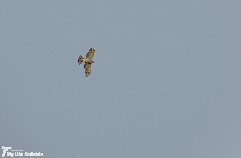 P1160759 - Sparrowhawk, Overton Mere
